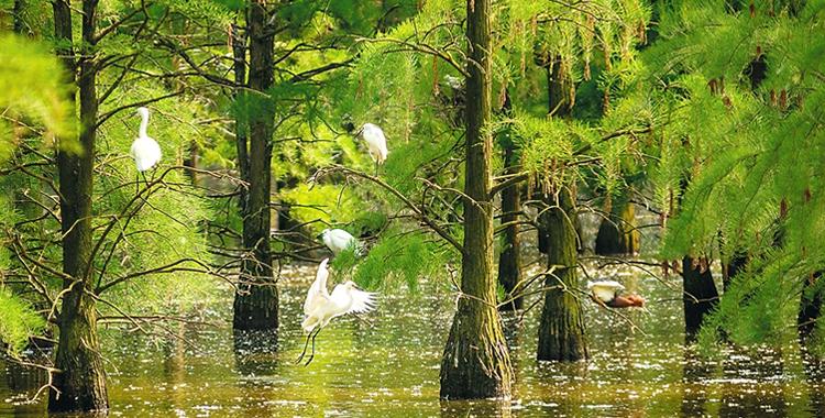 池杉湿地百鸟集